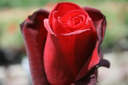 Taboo (hybrid tea rose)